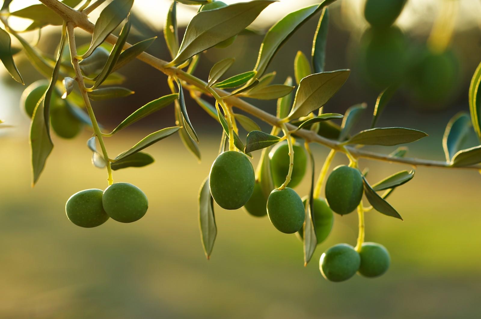 Oliiviplantaasi